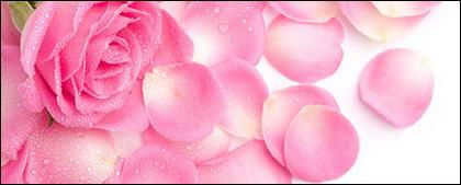 ピンクのバラの花びらの素材を画像します。