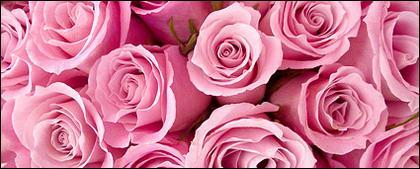 画像素材のピンクのバラを背景します。