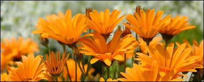 Material de imagen de daisy naranja