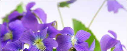Material de imagen elegante flores púrpuras.