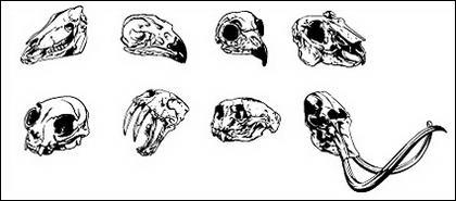 Allez Media produit vectoriel matériel - crâne animale
