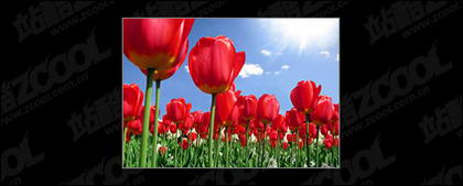 Material de imagem jardim Tulip