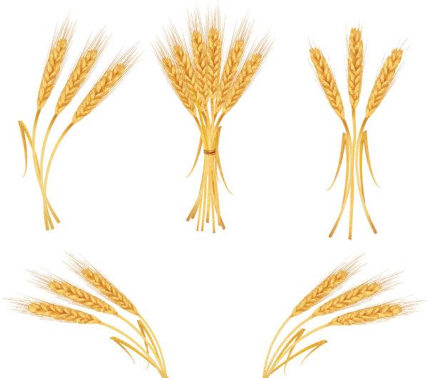 Keywords Yellow Gold Wheat Grain Wheat Crops Vector